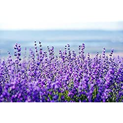 Echter Lavendel Samen Mehrjährig Winterhart bis -20C(Lavandula angustifolia) Lavender English