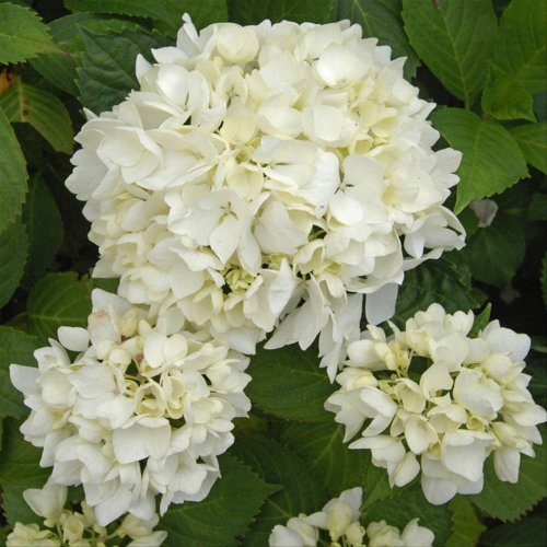 Hortensia Soeur Thérèse (Hydrangea) - 1 arbrisseau