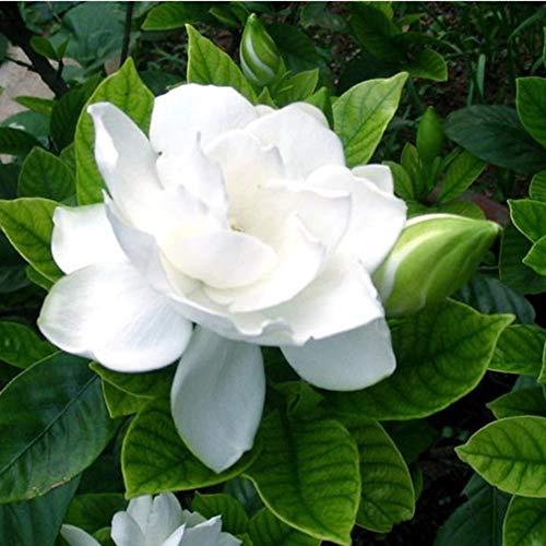 qbisolo 20pcs cape jasmine gardenia seeds fragrante facile da coltivare home garden plant seed