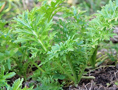 Senf Wasabi - Salat - 250 Samen