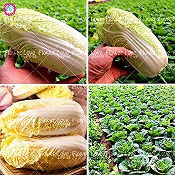 Vistaric véritable Mini Graines de Chou Frisé 100 pièces 100% santé Biologique Chou Vert graines de légumes Facile à cultiver Légume de Haute Qualitã pour Le Jardin