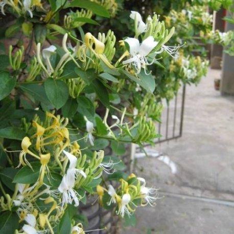 Geissblatt Halls Prolific (Lonicera) Kletterpflanze / Gelb - Immergrün & WInterhart - 1,5 Liter Topf | ClematisOnline Kletterpflanzen & Blumen