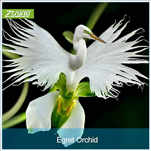 IDEA HIGH Seeds-ZLKING 200 Japanische Radiata-Silberreiher-Orchideen-Bonsai-Welt seltene...