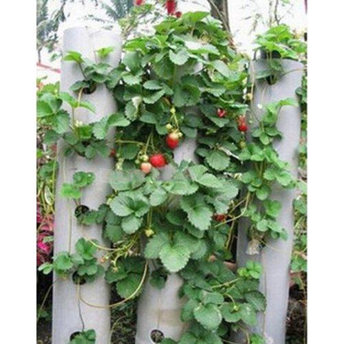 toogoor-100pcs-graine-fruits-fraise-rouge-escalade