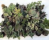 Piante grasse vere assortite set N. 46 in vaso cm. 3,5 tutte succulente senza spine.