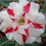 AIMADO Garten 100Stk Samen 1 Pflanze Entzückende Blume Duftende Samen Duftende Blüten Wüstenrose Samen