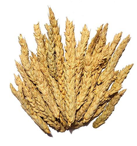 Bio Weizen Ähren Futter für Vögel und Nager 1kg Hand geerntet