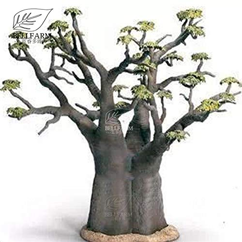Go Garden Bellfarm Bonsai Petit Bonsai Madagascar Baobab Adansonia Heirloom Jardin d'ornement vivaces Arbre de haut Germination/pack
