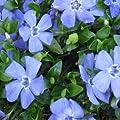Immergrün Vinca minor Marie 9 cm Topf 10 Stück von Gartenbau Menke auf Du und dein Garten