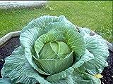 Portal Cool Cavolo. Verza. Cabbage. Pianta. Ve: 150 Semi gigante russo Cavolo Cavolo Cavolo medicinali Vitamina Salute Giant