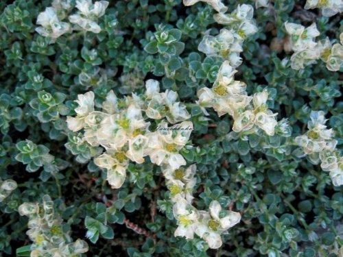 Staudenkulturen Wauschkuhn Paronychia kapela ssp. serpyllifolia - Mauermiere - Staude im 9cm Topf