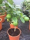 Shop Meeko Croix commune Nursery Citrus Lime'Tahiti' Lime