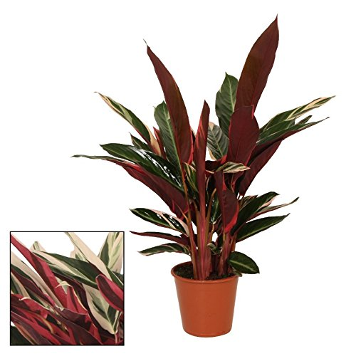 Schattenpflanze mit ausgefallenem Blattmuster - Calathea triostar - 14cm Topf - ca. 50cm hoch