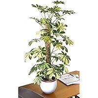 Planta de interior - Planta para la casa o la oficina - ScheffleraTrientte arborea Variegata -
