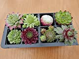 A Collection of 8 Sempervivum Plants house leeks (hen and chicks)