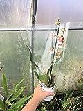Portal Cool Cambria Orchidâ€TMMix' Orchidea Miltassia Specie in Fiore Ora