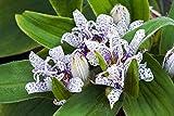 5 Samen Japanische Krötenlilie (Tricyrtis hirta) Tigerstern