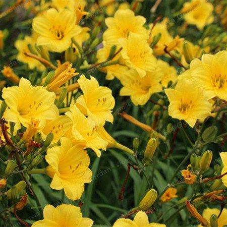 Galleria fotografica 2 lampadine Amaryllis Bulbi veri Hippeastrum Bulbi Fiori, Barbados Lily vaso giardino della casa Balcone pianta bulbosa (non Seeds) 14