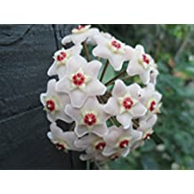 Hoya carnosa: Wax plant (English Edition)
