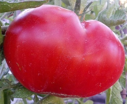 Tomate Mortgage Lifter - tomate - 50 graines