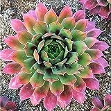 Soteer Garten-100 Stück Sukkulenten Samen Zierpflanzen Bonsai winterhart Blumensamen einfach zu pflegen für Garten und Balkon