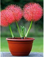 Kraft Seeds Football Lilly Flower Bulbs (Multicolour, 10 Pieces)