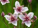 Schwanenblume - Blumenbinse / Butomus Umballatus im 9x9 cm Topf