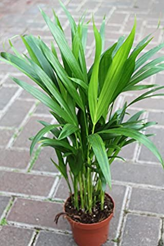 Indoor Plant -House or Office Plant -Chrysalidocarpus lutescens Areca Palm - Butterfly Palm 50cms