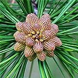 Fash Lady Eine Tasche 30 Stücke Kiefer Samen Garten Rare Fichte Picea riesigen Pflanzen Baum Topf Bonsai Sementes Jardin Blumen pflanzen Semillas. Lila