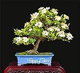 Portal Cool 100+ Cape Jasmin Seeds Gardenie Hedge Blume Fragrant Bonsai