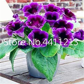 Potseed . Großer 100 Stück/Beutel Gloxinie Blume Perennial Blütenpflanzen Mischfarbe Blumen Sinningia speciosa Balkon: 5
