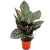 Shadowplant with unusual leafpatterns - Calathea ornata - 14cm pot - 45-50cm tall