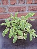 Salbei Pflanze, Salvia officinalis Kräuter Pflanzen 2stk.