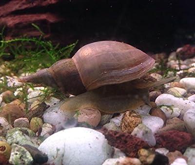 Teichschnecken : Lymnaea stagnalis Spitzschlammschnecke - Algen Futterkultur 5 Tiere