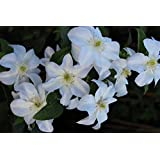 Clematis 'huldine' Clematis viticella 'huldine' Planta Trepadora Con Blanco Flores En Olla gewachsen hasta 150cm - blanco, 60-100cm