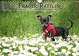 Prager Rattler (Wandkalender 2019 DIN A4 quer): Kleiner Hund mit ganz viel Herz (Monatskalender, 14 Seiten ) (CALVENDO Tiere)