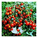Balkontomate - Buschtomate - rote Cherry - Windowbox red - 20 Samen