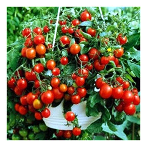 Balkontomate – Buschtomate – rote Cherry – Windowbox red – 20 Samen