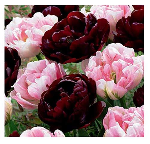 15x Tulpen Sweet Desire Mischung-Tulpenzwiebeln F1 Zwiebeln Knolle K-ZK12