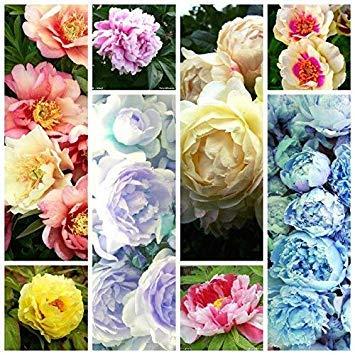 1, klar: Chinesische Pfingstrose Bonsai 10 Stück Blooming Hof Pflanzen Bunte Blumen in Bonsai Paeonia Suffruticosa Bonsai Als nationalen Zeichen: Klar (Gurke Zeichen)