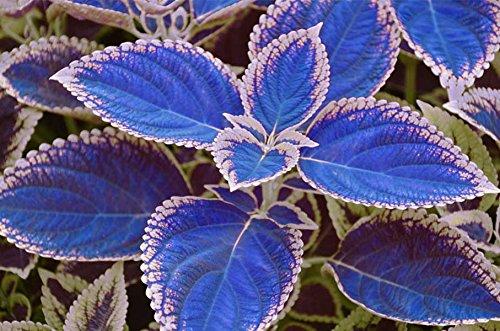 100 / sac de graines de coleus bleu, de belles plantes à fleurs, pot balcon bonsaï couleur sort