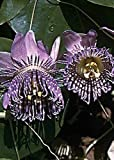 Tropica - sweet granadilla (passiflora ligularis) 20 semi