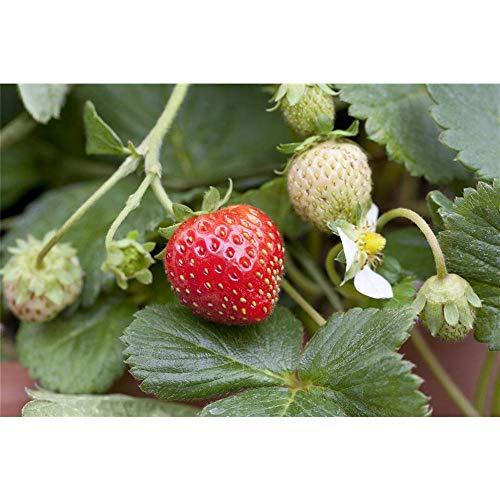 Garten-Monats-Erdbeere 'Korona'(s), Fragaria vesca 'Korona', P 0,5