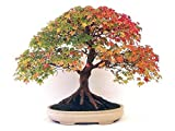#10: American Maple Bonsai Tree Seeds, Very Beautiful Garden / Indoor Tree (High Quality Seeds - Multicolor) - BEE Garden Organic