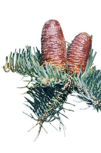 Blaue Kolorado-Tanne (Abies concolor) 10 Samen >Frisches Saatgut< -Sehr beliebte Tanne-