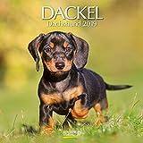 Dackel 2019: Broschürenkalender mit Ferienterminen. Hunde-Kalender. 30 x 30 cm