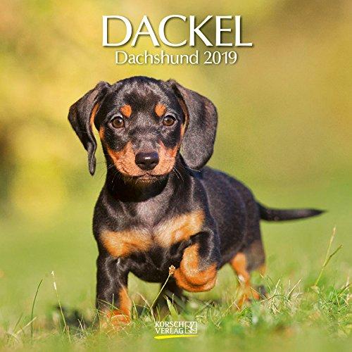 Dackel 2019: Broschürenkalender mit Ferienterminen. Hunde-Kalender. 30 x 30 cm (Tag Dackel)