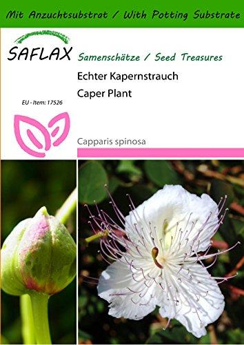 SAFLAX - Kräuter - Echter Kapernstrauch - 25 Samen - Mit Substrat - Capparis spinosa