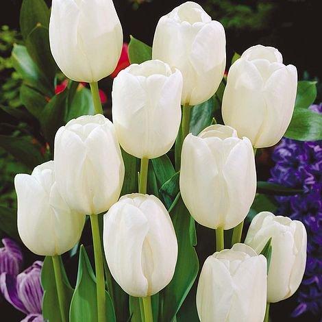 Blumenzwiebeln White Dream Triumph Tulpenzwiebeln - erhältlich in 10er-Pack, 25&50-25 - Cottage White Queen