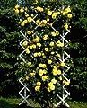 'Goldstern' -R-, Kletterrose im 4 L Container von Rosen-Union - Du und dein Garten
